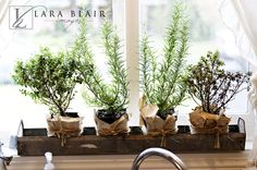 kitchen herbs Planted in my small Shatto glass milk jugs