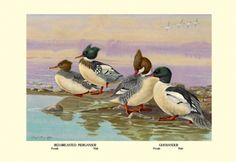 Red-Breasted Merganser and Goosander, by Allan Brooks