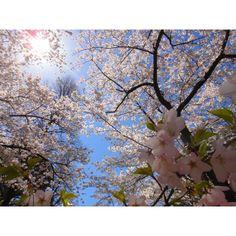 High Park Toronto cherry blossoms