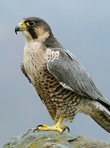 A Peregrine Falcon. All Birds, Birds Of Prey, Beautiful Birds, Animals Beautiful, Hawk Bird, Peregrine Falcon, Mundo Animal, Big Bird, Colorful Birds