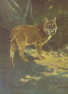 """1926 Vintage ANIMALS /""""MOUNTAIN LION/"""" GORGEOUS COLOR Art Print Plate Lithograph"""