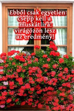 Ebből csak egyetlen csepp kell a muskátlira: virágözön lesz az eredmény Funny Facial Expressions, Diy Flooring, Baby Makes, Gerbera, For Love And Lemons, Orchids, Easy Diy, Home And Garden, Agriculture