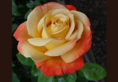 """Vendee Imperiale - Hybrid Tea Roses    Product Description  Orange-pink, champagne-color, edged red. Large, very double, cupped bloom form on a compact bush. Petal 30, Bloom 4.75"""""""