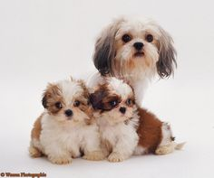 pictures of shih tzus - Bing Images