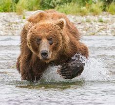 1st place wildlife winner..Brown bear, © William Pohley