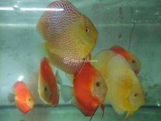 Imported & Indian Breed Discus Fishes for sale Mumbai - Dog Buy & Sale Discus Fish For Sale, Aquarium Fish For Sale, Indian, Pets, Mumbai, Animals, Dog, Diy Dog, Animales