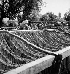 Άπλωμα φύλλων καπνού. 1950-1955 Βούλα Θεοχάρη Παπαϊωάννου