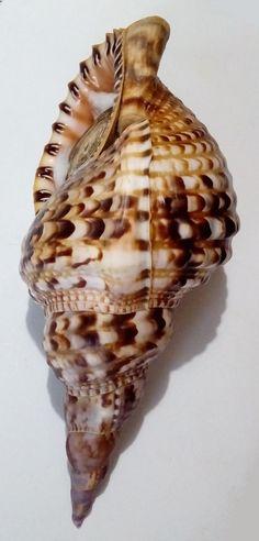 Conchiglia Shell CHARONIA VARIEGATA W/O Brasile 270 mm # FRESH COLLECTED | eBay