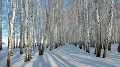 This HD wallpaper is about Thick snow, winter, birch trees, bare forest, Original wallpaper dimensions is file size is White Birch Trees, Birch Forest, Tree Forest, Birch Tree Wallpaper, Forest Wallpaper, Animal Wallpaper, Nature Wallpaper, Winter Trees, Winter Snow