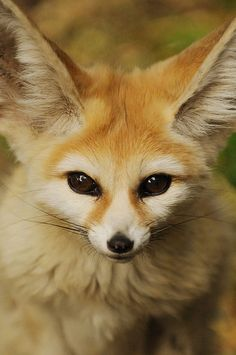 Fennec fox. They are the smallest of the foxes, but they are known for their gigantic eyes and ears.