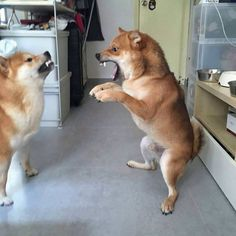This Shiba Inu is not having any of it!