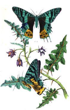 Le #papillon Riphée, (Papilio Riphæus de Linné ) est aussi connu sous le nom d'Urania Riphoeus. Les ailes sont à six dents prolongées en queue, noires a bandes #vertes; les inférieures, vertes en dessous, ont à l'angle interne une grande tache ferrugiueuse ponctuée de noir. ll habite #Madagascar #numelyo #couleur #color #green