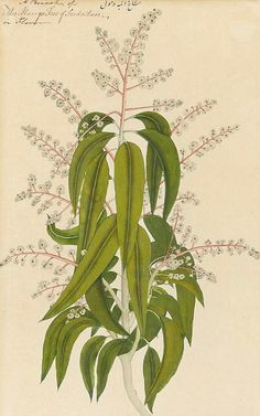 Unknown (Indian) Botanical Study 19th century