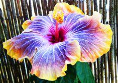 Beautifull Exotic Hibiscus #flower #color