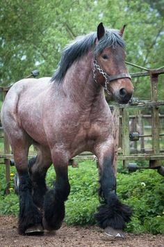 Big Horses, Work Horses, Horse Love, Black Horses, Most Beautiful Horses, All The Pretty Horses, He's Beautiful, Farm Animals, Animals And Pets