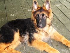 Pullo, 4 months old. both ears up. Black and red German Shepherd.