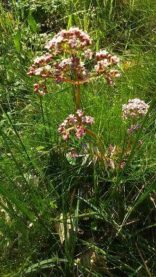 Bernadetts Blog Heilpflanzen und mehr: Der Baldrian (Valeriana officinalis)