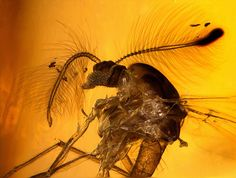 Cretaceous New Jersey amber (90-94 MYO) - perfect iconic midge in extremely rare amber - (3 mm) | © Anders Leth Damgaard | www.amber-inclusions.dk