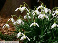 Sněženka podsněžník je 15 - 20 cm vysoká. Podobně jako ostatní druhy sněženek má cibulku, 2 až 3 jednoduché, úzké, přisedlé listy se souběžnou žilnatinou, oboupohlavné květy a pod nimi 2 listeny, které jsou zcela srostlé a tvoří toulec.