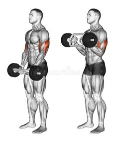 Illustration about Olympic Tricep Bar Hammer Curls. Exercising for bodybuilding Target muscles are marked in red. Initial and final steps. Illustration of tricep, slope, crowning - 67155544 Gym Workout Chart, Workout Routine For Men, Bar Workout, Gym Workout Videos, Workout Guide, Gym Workouts, Bicep And Tricep Workout, Dumbbell Workout, Bicep Muscle