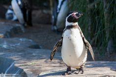 Humboldt Penguin, Amneville zoo by BKcore on DeviantArt
