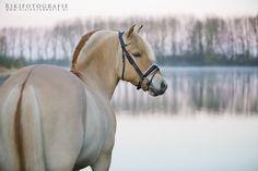 rodblakk Dressage Horses, Breyer Horses, All The Pretty Horses, Beautiful Horses, Fjord Horse, Horse Facts, Horse Drawings, Horse Pictures, Horse Breeds