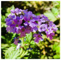 Glandularia Bipinnatifida – Dakota Mock Vervain #desert #flower