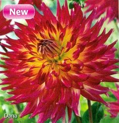 "Dana Dinner Plate Dahlias-2 tubers - NEW! by Hirts: Dahlia. $9.99. Blooms August until Frost in the fall.. Immediate Shipping. #1 Size tubers. Height: 36-48"". Loves the sun.. Semi-cactus, Dinnerplate. Deep purple-red flowers yellow vertical center. 8-10"" flowers.. Hardy in zones 8-10, elsewhere dig and store in the winter.. DAHLIA: The word dahlia means ""plant with tube- like stems"". With a blast of different colors, shapes and sizes, Dahlias bring life and beau..."