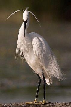 コサギ (小鷺)  Little egret (Egretta garzetta)