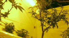 Longtime landlord Darryl Spencer was left scrambling for insurance after discovering a tenant was growing dozens of medical marijuana plants inside and outside his rental house. Landlord Tenant, Being A Landlord, Cannabis News, Medical Marijuana, Tenant Insurance, The Tenant, Marijuana Plants, Up In Smoke, Property Values
