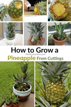 How to Grow A Pineapple In Your Home or Garden – Grow pineapple plant - Modern Design Indoor Vegetable Gardening, Home Vegetable Garden, Fruit Garden, Indoor Garden, Container Gardening, Gardening Tips, Organic Gardening, Garden Plants, Fairy Gardening