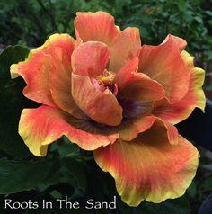 'Chartreuse Rose' Cajun hibiscus
