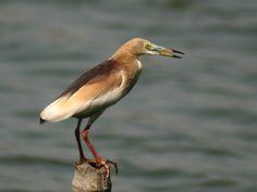 Indian Pond Heron I2 IMG 1142.jpg Aredeola grayii, IKolkata, India by J.M.Garg