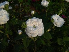 Mme. Hardy.  Still a classic! #rosechat