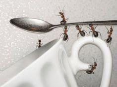 Aprenda Como Eliminar as Formigas da Sua Casa com dicas simples e fáceis. Coloque-as em prática hoje mesmo e elimine as formigas para sempre!