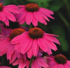 """PowWow Wild Berry"" Coneflower, 24 inches tall and 16 inches wide, 3 to 4 inch blooms.  The hunt begins."