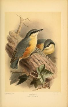 Nuthatch, Coloured Figures of the Birds of the British Islands, Thomas Littleton Powys Lilford, Vol II, 1885-1897.