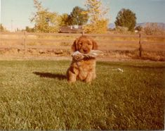 Golden Retriever facts including: history, training/temperament, and breed colors and markings. Golden Retriever Breed, Golden Retriever Training, Retriever Puppy, Golden Retrievers, Rottweiler Facts, Rottweiler Mix, Akc Breeds, Happy Dogs, Drawing