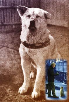 Hachiko Akita Dog, Shiba, Ranger, Labrador Retriever, Dog Cat, Best Friends, Japan, Google, Dogs