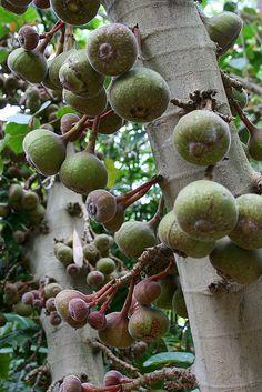huntington ficus fruit | Flickr - Photo Sharing!