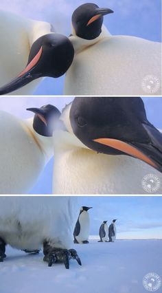 After researcher Eddie Gault left behind his video camera, two curious Emperor penguins knock it over and get up close for some adorable animal selfies.