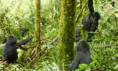 Uganda Gorilla Safaris | Tours | WWF