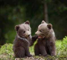 Two young brown bear cub in the fores by byrdyak. Two young brown bear cub in the forest. Portrait of brown bear, animal in the nature habitat. Wildlife scene from Eur. Cute Creatures, Beautiful Creatures, Animals Beautiful, Nature Animals, Animals And Pets, Wild Animals, Cute Baby Animals, Funny Animals, Baby Pandas