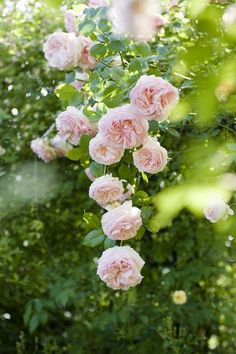 Roses Gardening Beautiful climbing pale pink 'Pierre de Ronsard 'roses in the Ca' delle Rose garden by krista Beautiful Roses, Beautiful Gardens, Beautiful Flowers, Exotic Flowers, Purple Flowers, Rose Foto, Arch Trellis, Climbing Roses, Love Rose