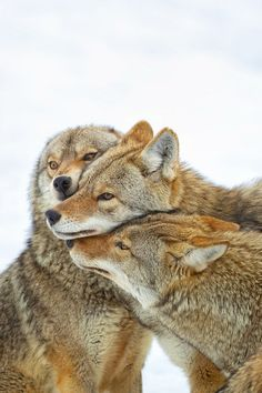 ☀Coyote Hug Wolf Love, Beautiful Creatures, Animals Beautiful, Tier Wolf, Animals And Pets, Cute Animals, Wild Animals, Baby Animals, Beautiful Wolves