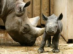 A two-day old black rhinoceros baby stands next to its mother at the zoo in Krefeld, Germany, Monday, July 15, 2013. Its mother Nane gave birth for the fourth time. (AP Photo/Roland Weihrauch, dpa)