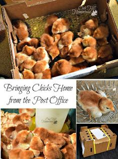 Bringing Chicks Home from the Post Office - Oak Hill Homestead