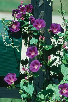High Octane Vines | Georgia Gardening Web Articles