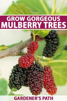 How to Grow Gorgeous Mulberry Trees Gardener's Path is part of Mulberry tree - Mulberries are a tasty fruit that attracts birds and inspires the best pies and wines Learn how to care for this tree read our guide on Gardener's Path Mulberry Fruit, Mulberry Tree, Fruit Tree Garden, Garden Trees, Herbs Garden, Fast Growing Trees, Growing Plants, Tree Care, Shade Trees