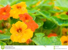 Growing Nasturtiums for flowers and as a herb is great fun. The cheerful Nasturtium flowers brighten up beds and containers. Growing Nasturtium plants makes your herb garden really pretty! Edible Flowers, Colorful Flowers, Beautiful Flowers, Orange Flowers, Beautiful Butterflies, Outdoor Plants, Garden Plants, Permaculture, Planting For Kids